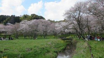 aki_sakura6.jpg