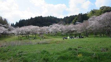 aki_sakura7.jpg