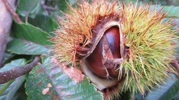 chestnut1.jpg