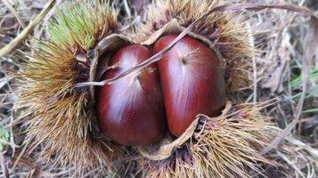 chestnut4.jpg