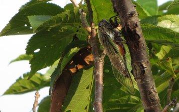 cicada3.jpg