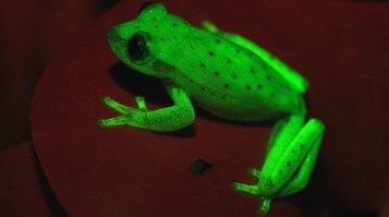 fluorescent_frog.jpg