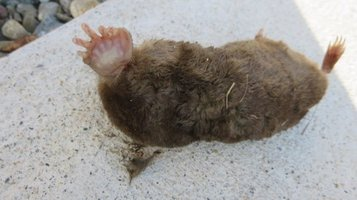 mole3.jpg