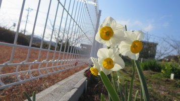 narcissus0204a.jpg