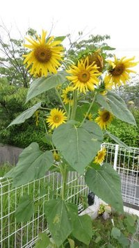 sunflower0709a.jpg