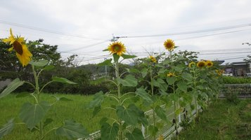 sunflower0709b.jpg
