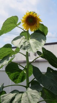 sunflower0709c.jpg