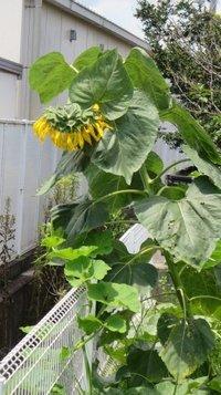 sunflower0712a.jpg